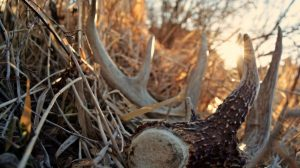 bucks-shed-antlers-bone-collector